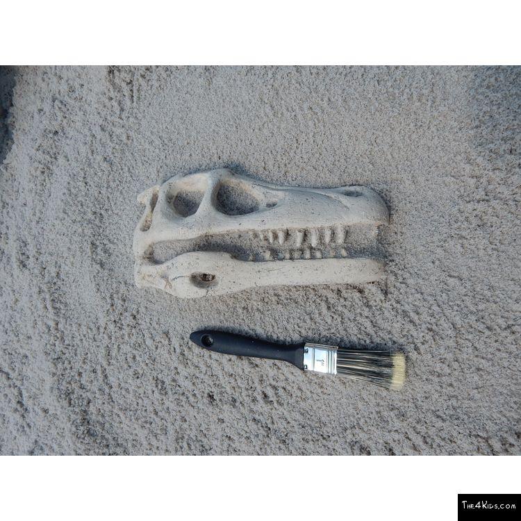 Image of Raptor Skull Fossil
