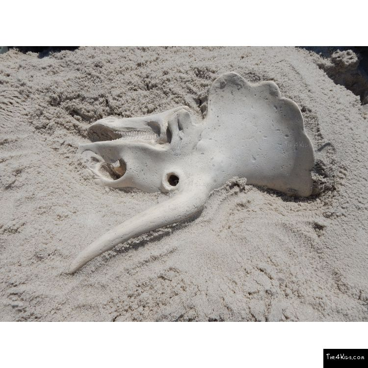 Image of Small Triceratops Skull Fossil