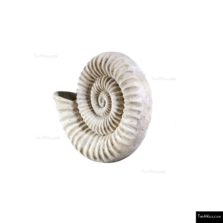 Image of Nautilus Shell