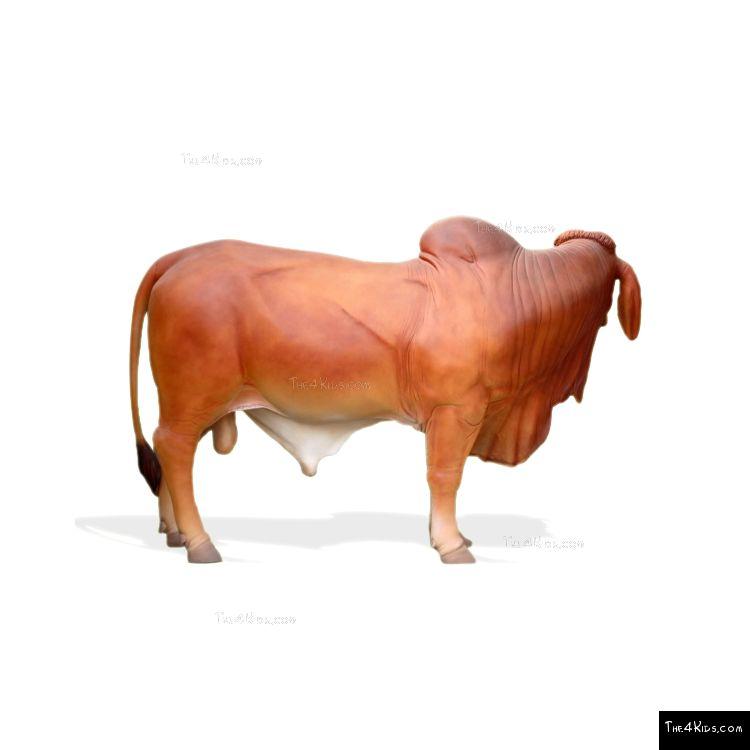 Image of Large Brahman Bull