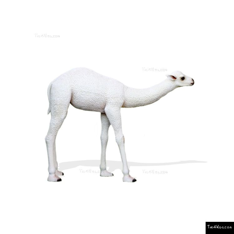 Image of Baby White Camel