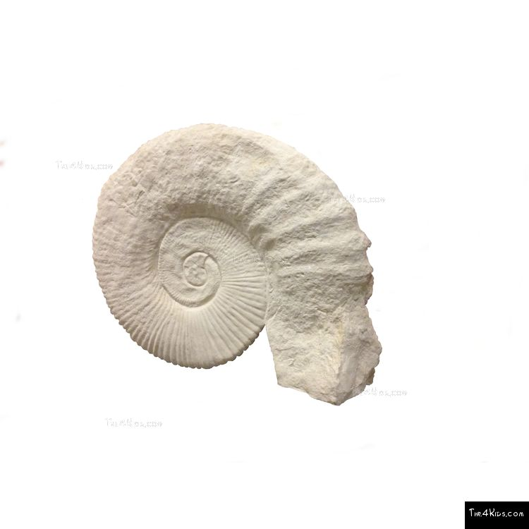 Image of Ammonite Climber