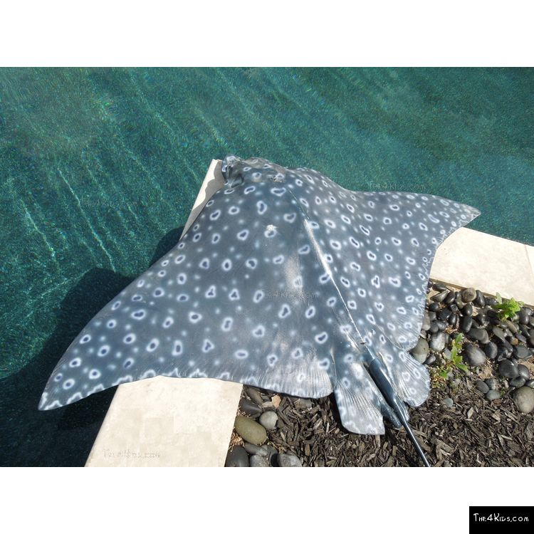 Image of Spotted Eagle Ray