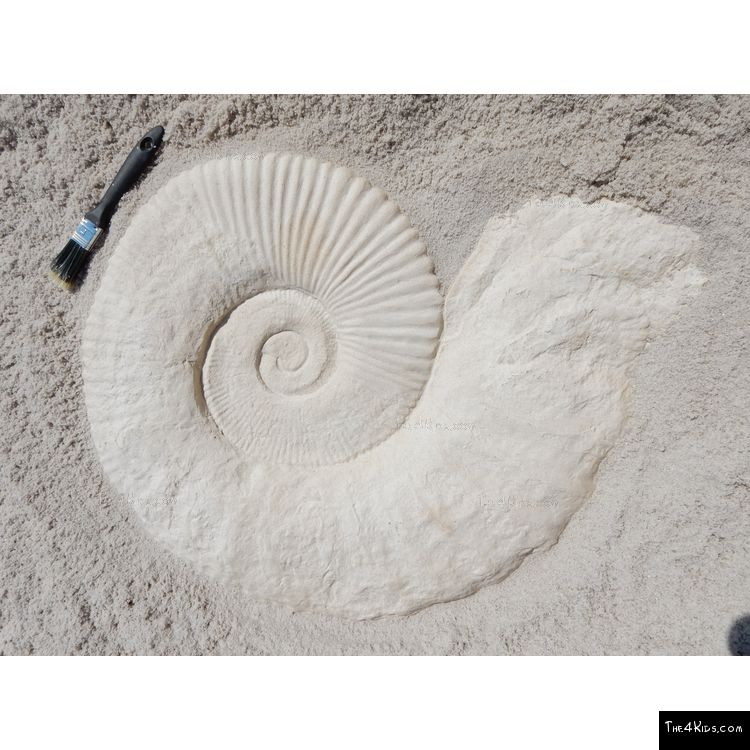 Image of Large Ammonite Fossil