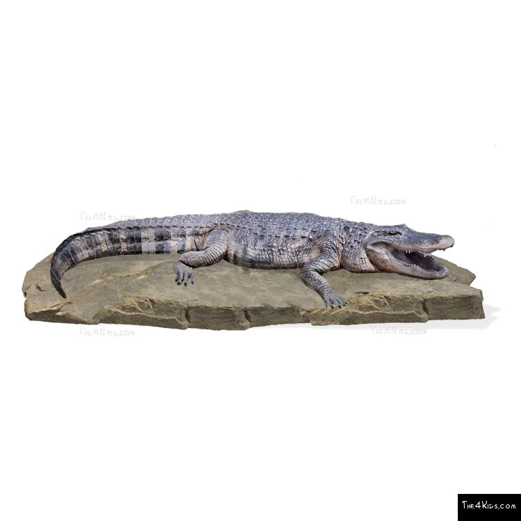 Image of American Alligator on Rock