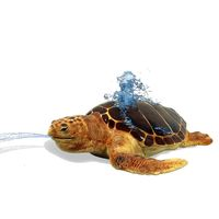 Thumbnail of Loggerhead Turtle