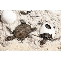 Thumbnail of Sea Turtle Hatchlings and Eggs