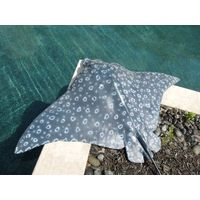 Thumbnail of Spotted Eagle Ray