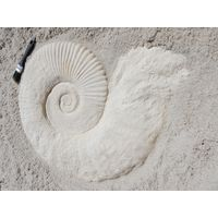 Thumbnail of Large Ammonite Fossil