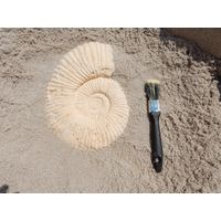 Thumbnail of Small Ammonite Fossil