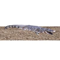 Thumbnail of 8ft American Alligator