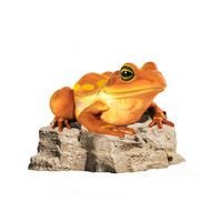 Colorful Frog on Rock