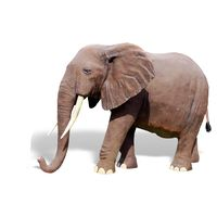 Thumbnail for 8ft African Elephant